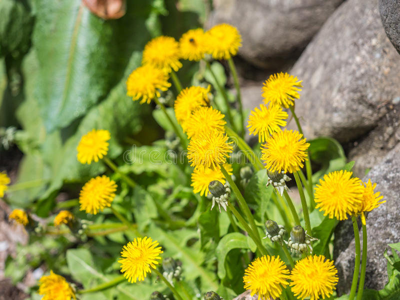 A flor amarela é florescida imagem de stock royalty free