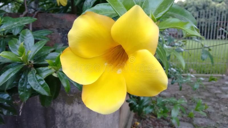 Flor-amarela stockfotos