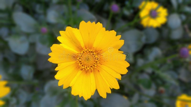 Flor amarela imagens de stock