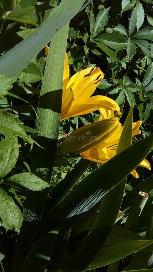 Flor amarela básica imagens de stock