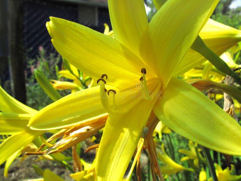 Flor amarela bonita fotografia de stock royalty free
