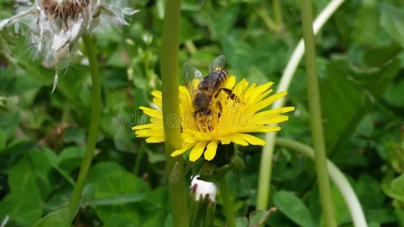 Flor amarela bonita com abelha fotos de stock