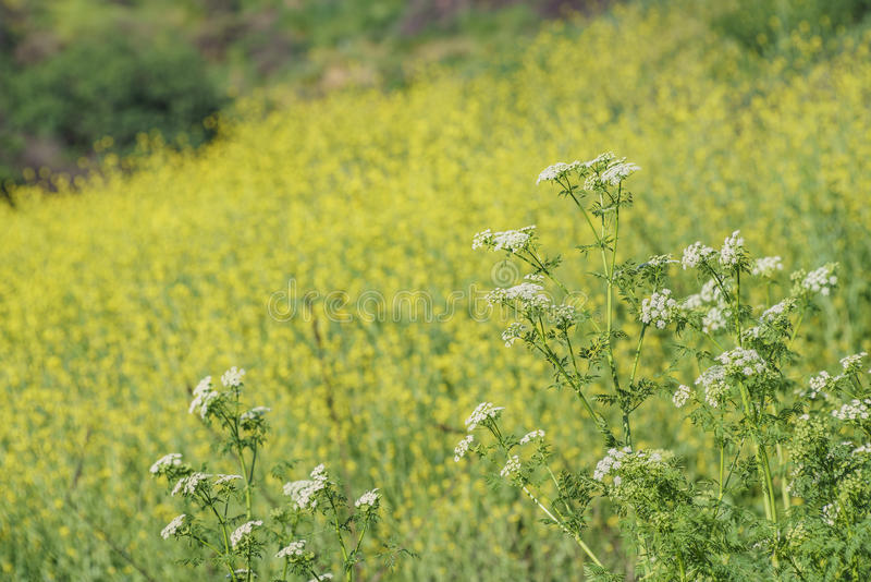 Flor amarela bonita da flor selvagem no parque regional de Schabarum foto de stock