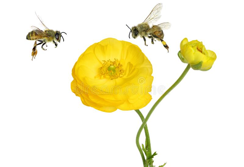 Flor amarela bonita de um botão de ouro do jardim e das abelhas do mel que voam ao redor imagens de stock