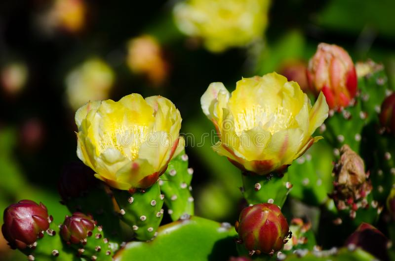 Flor amarela bonita do cacto de pera espinhosa em um jardim botânico fotos de stock