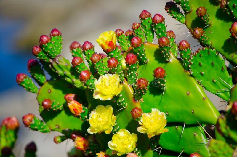 Flor amarela bonita do cacto de pera espinhosa em um jardim botânico fotos de stock royalty free