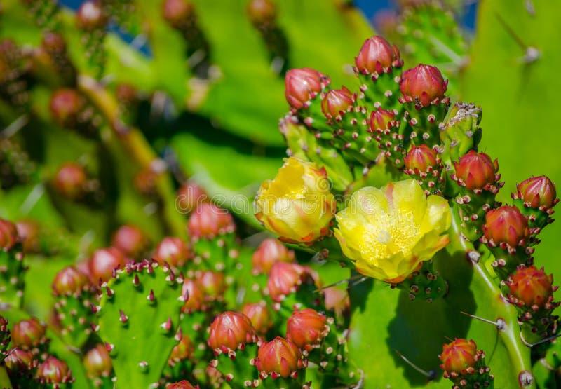 Flor amarela bonita do cacto de pera espinhosa em um jardim botânico imagem de stock