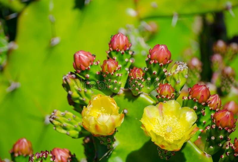 Flor amarela bonita do cacto de pera espinhosa em um jardim botânico imagem de stock royalty free