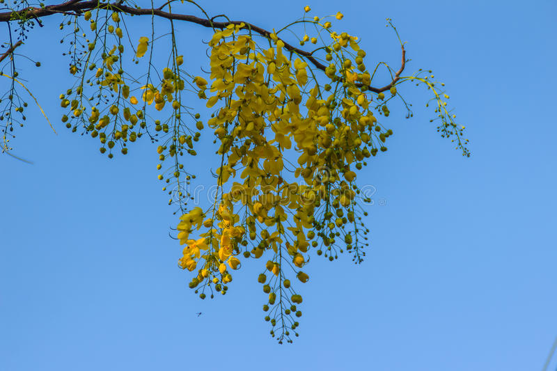 Flor amarela bonita do chuveiro (Cassia Fistula) com backgro do céu fotografia de stock