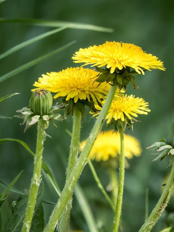 Flor amarela bonita do dente-de-leão entre os verdes imagem de stock royalty free