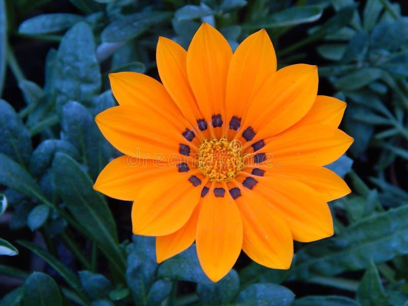 Flor amarela bonita encontrada em Brasil do sul fotos de stock