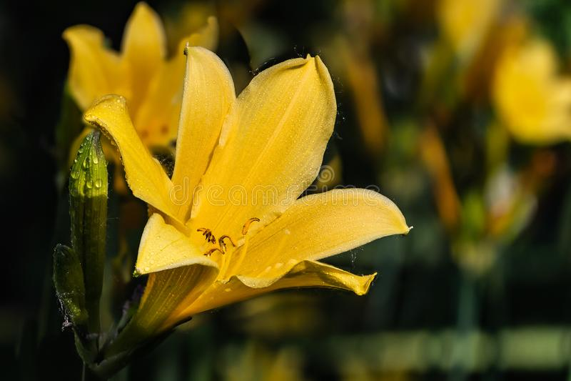 Flor amarela bonita molhada e botão verde do hemerocallis de Amur ou do middendorffii do Hemerocallis no jardim do verão foto de stock royalty free