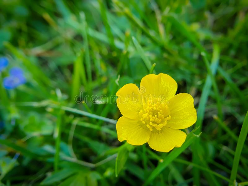 Flor amarela, botão de ouro alto comum, acris do ranúnculo no fundo verde fotos de stock royalty free