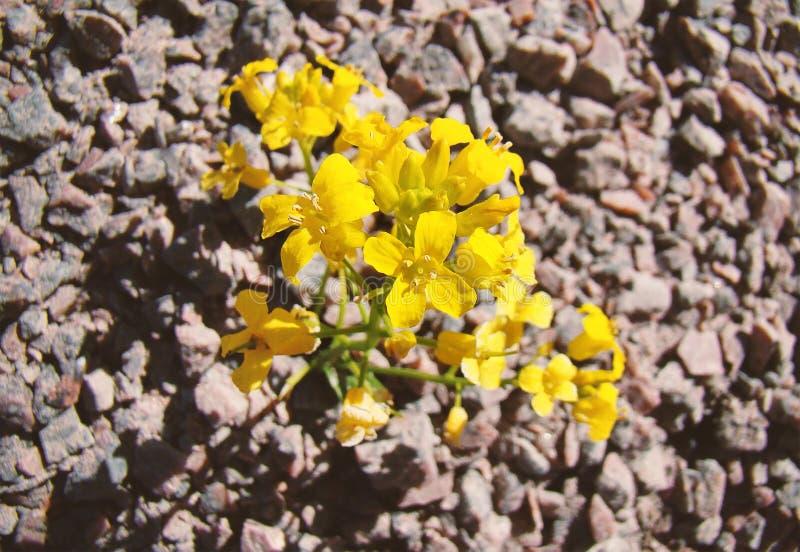A flor amarela brilhante cresceu entre o solo de pedra fotos de stock