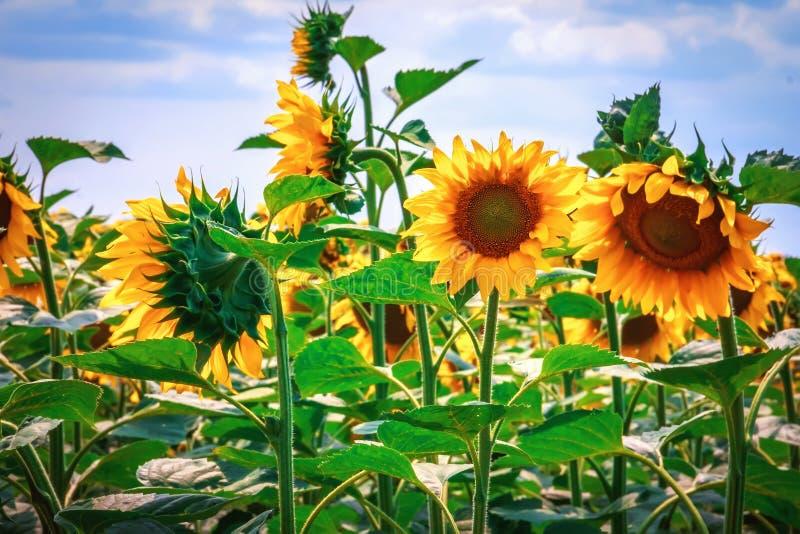 Flor amarela brilhante de um girassol contra um céu azul em um sunn fotos de stock