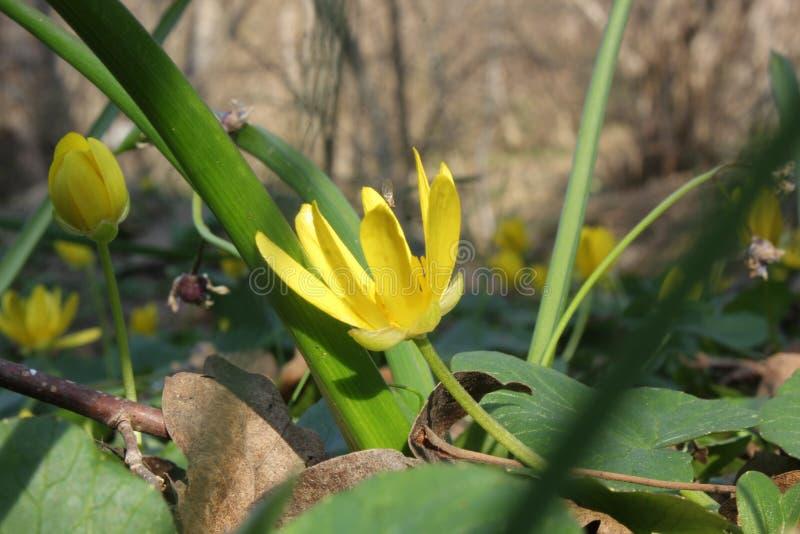 Flor amarela brilhante na máscara na floresta fotografia de stock