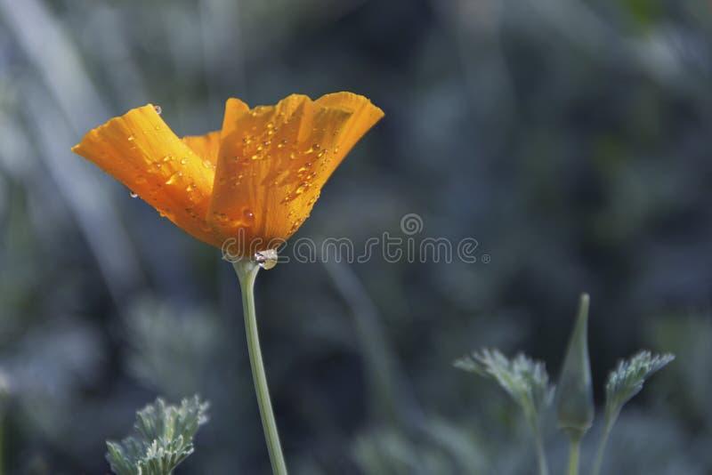 Flor amarela com os pingos de chuva no jardim foto de stock