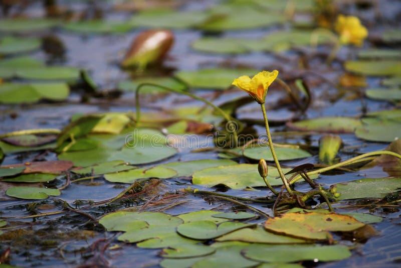 A flor amarela cresceu fora de um lírio de água imagens de stock royalty free