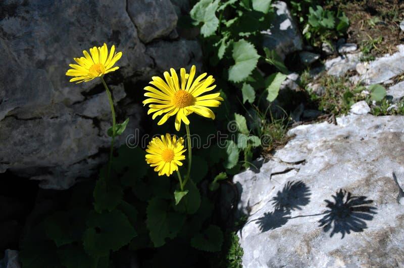 Flor amarela da arnica fotografia de stock royalty free