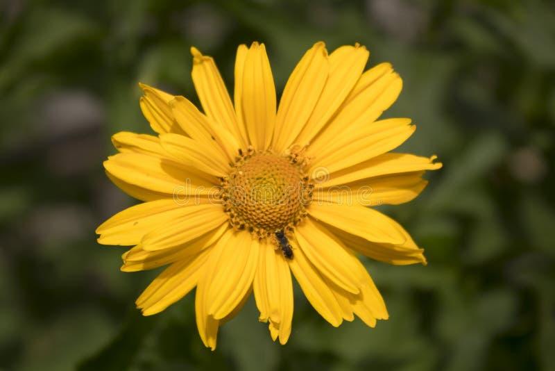 Flor amarela da arnica em um fundo verde imagem de stock royalty free