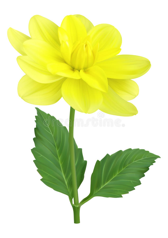 Flor amarela da dália ilustração royalty free