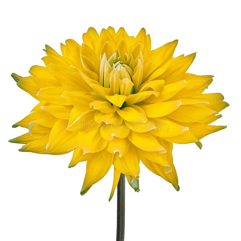 Flor amarela da d?lia isolada em um fundo branco com trajeto de grampeamento Close-up Flor em uma haste foto de stock royalty free