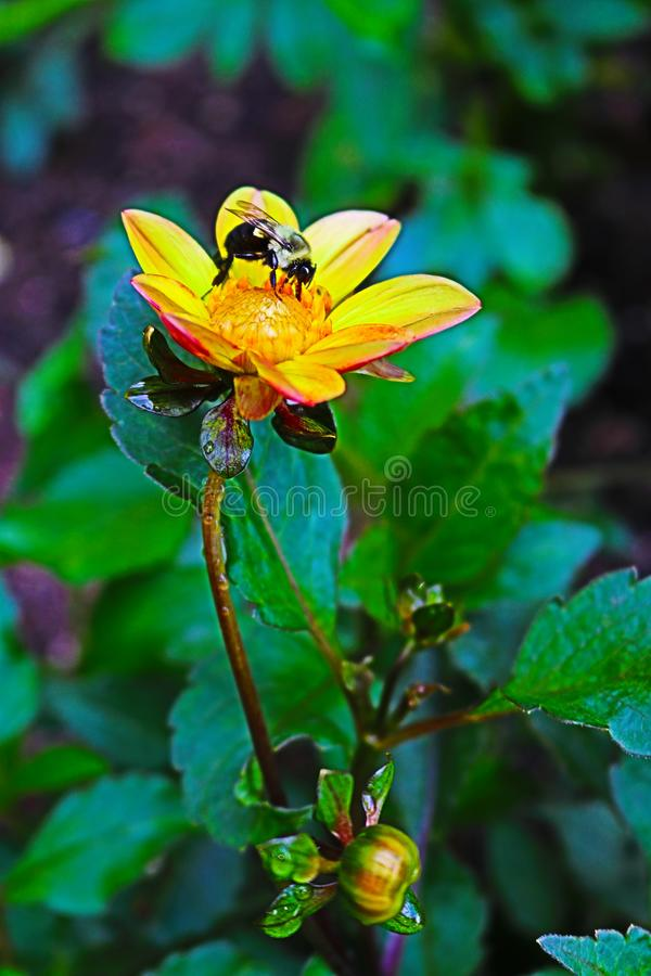 Flor amarela da dália na flor completa com uma abelha que recolhe o néctar 2 imagem de stock royalty free