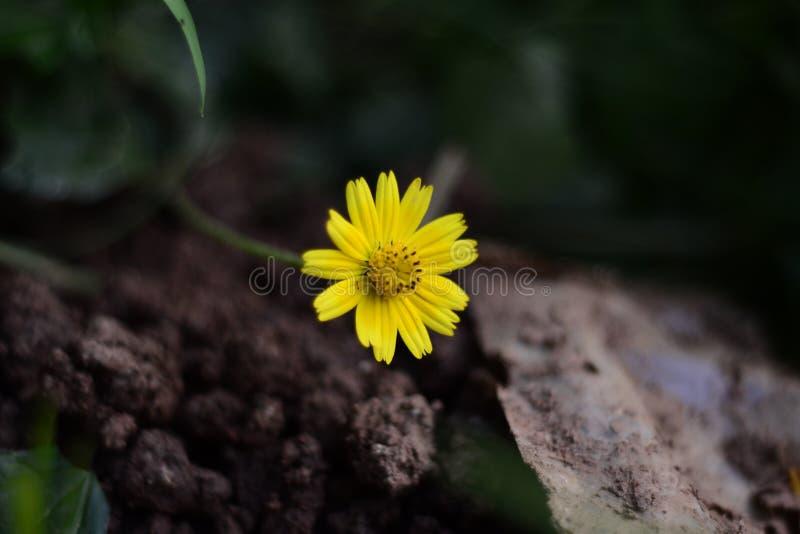 Flor amarela da flor | Definição, anatomia fotos de stock royalty free
