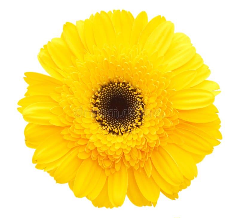 Flor amarela da margarida foto de stock royalty free