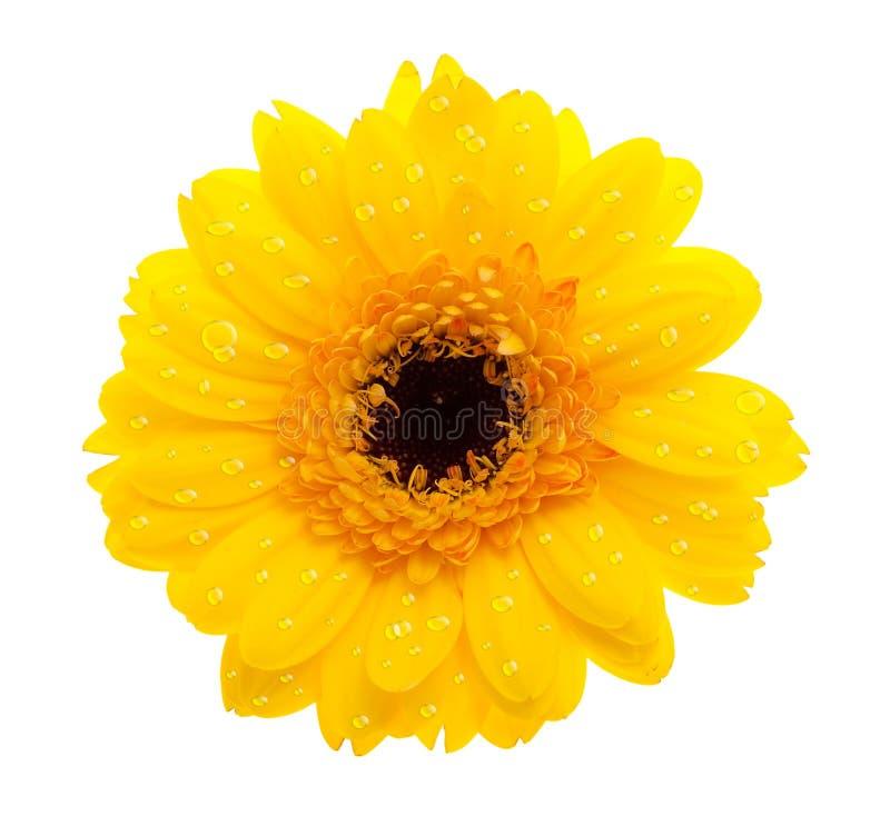 Flor amarela da margarida com waterdrops ilustração royalty free