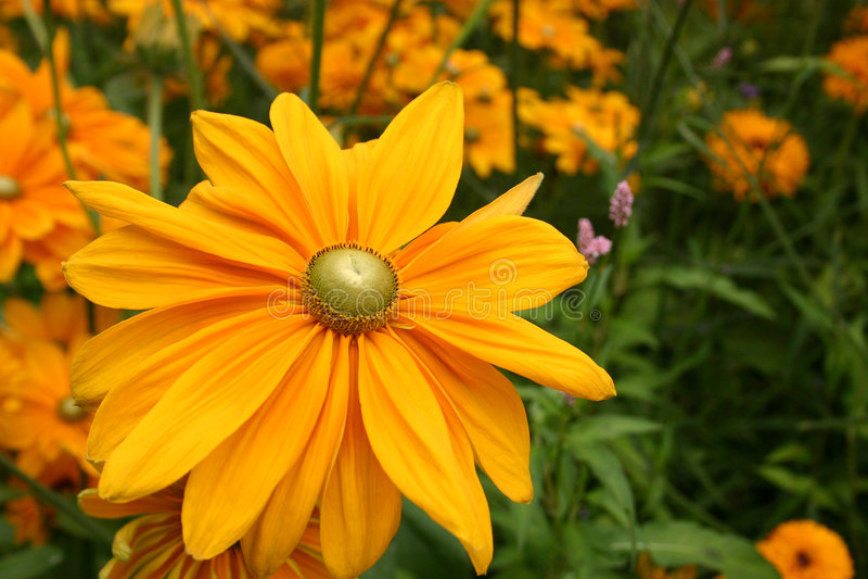 Flor amarela da margarida de Gerber imagens de stock royalty free