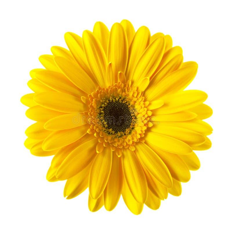 Flor amarela da margarida isolada imagem de stock