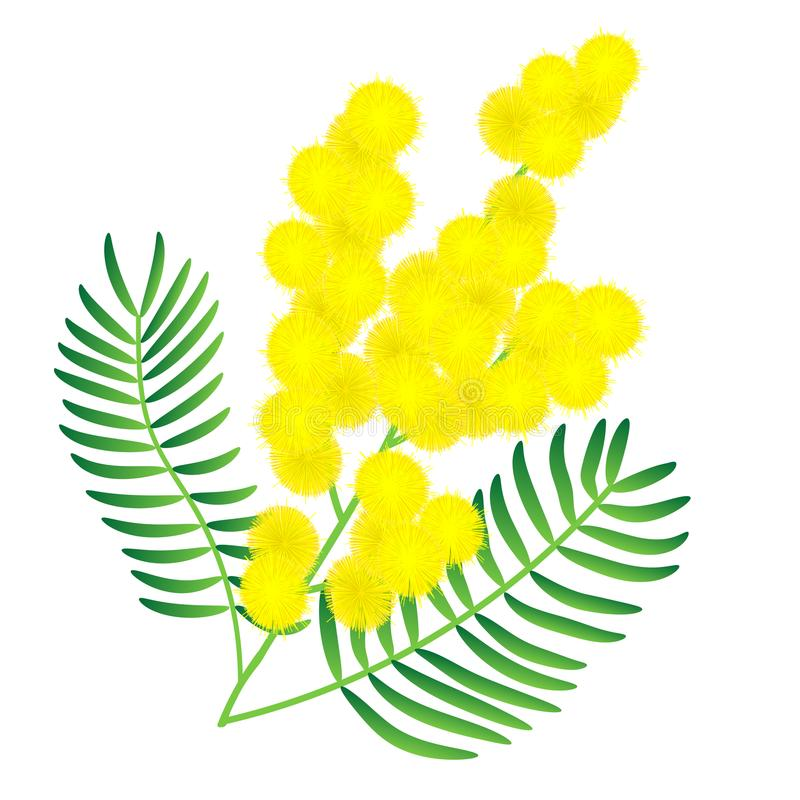 Flor amarela da mimosa ilustração royalty free