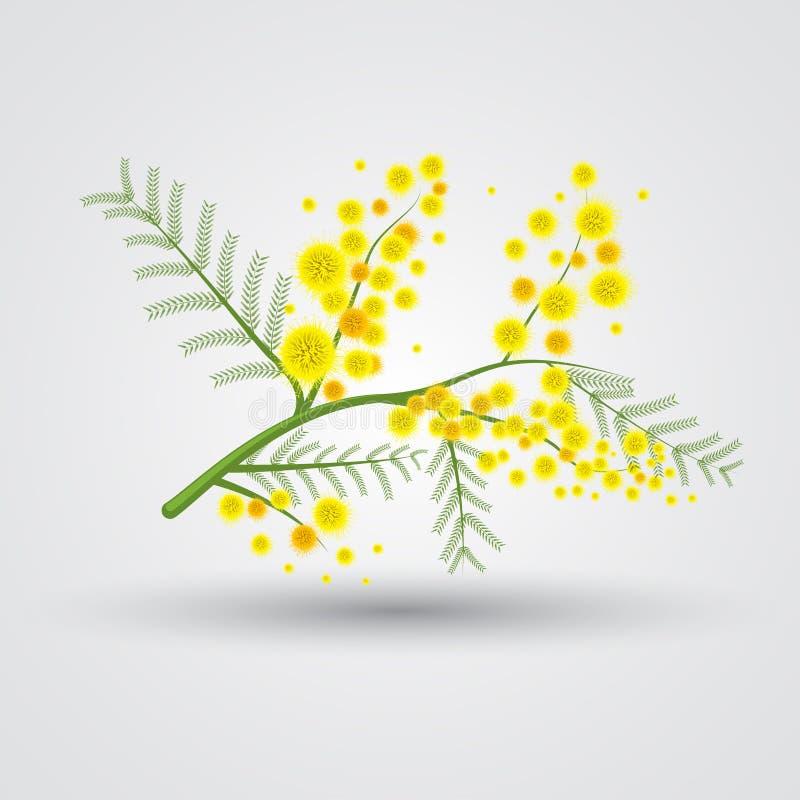 Flor amarela da mimosa ilustração stock