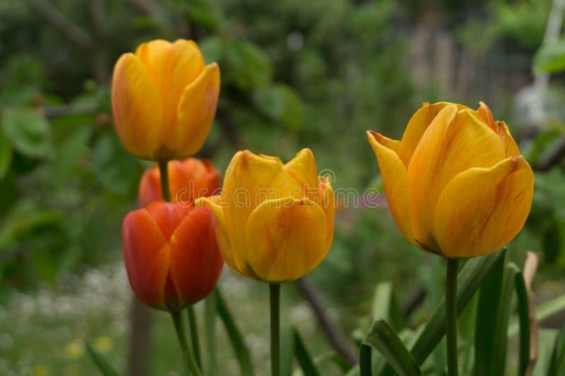 Flor amarela da mola foto de stock
