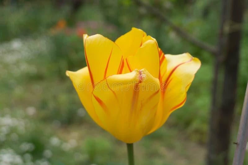 Flor amarela da mola fotos de stock
