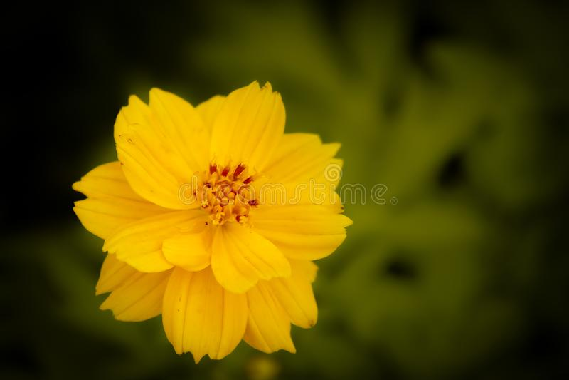 Flor amarela da mola no fundo escuro da natureza do borrão imagem de stock royalty free