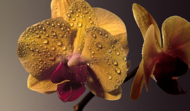 Flor amarela da orquídea fotografia de stock