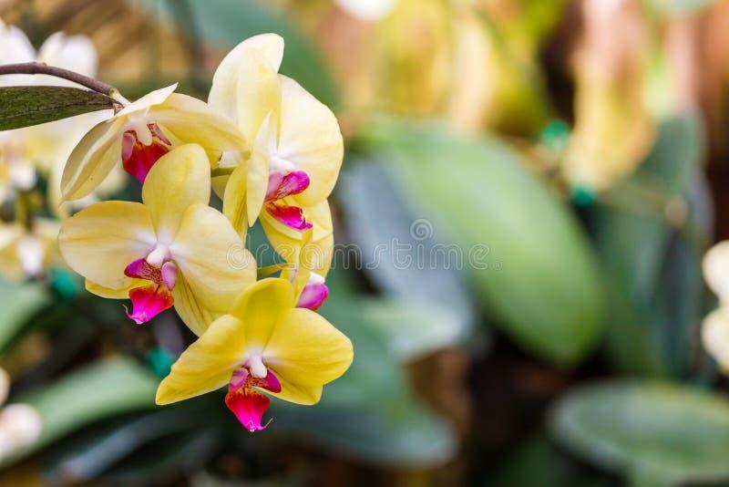 Flor amarela da orquídea isolada imagem de stock