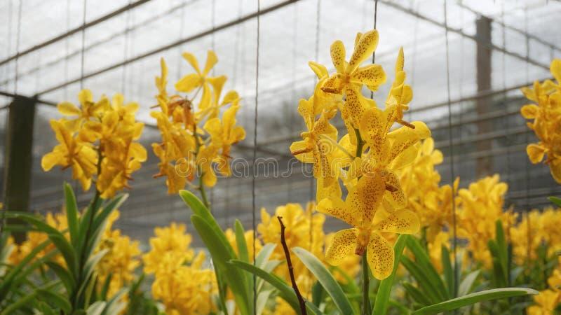 Flor amarela da orqu?dea no jardim foto de stock