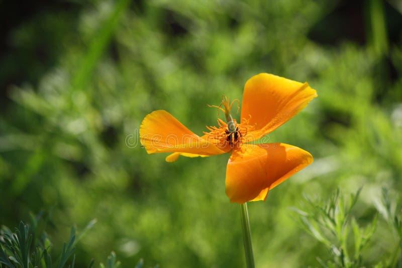 Flor amarela da papoila fotografia de stock royalty free