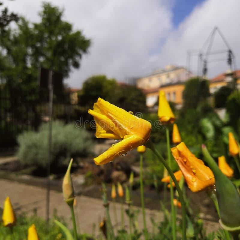 Flor amarela da papoila sob a chuva imagens de stock royalty free