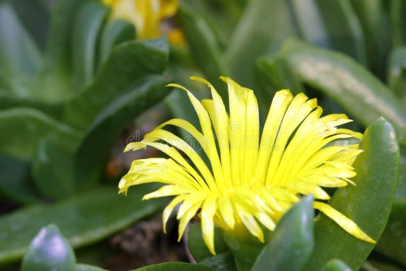 Flor amarela da planta suculento, adôbe rgb imagens de stock