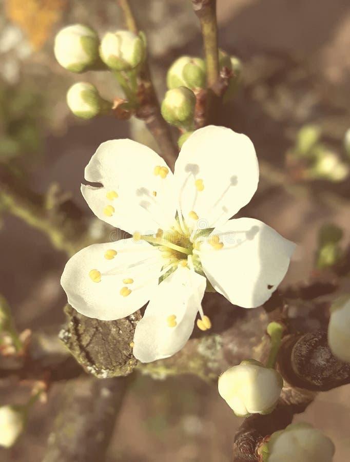flor amarela das ameixas imagens de stock royalty free