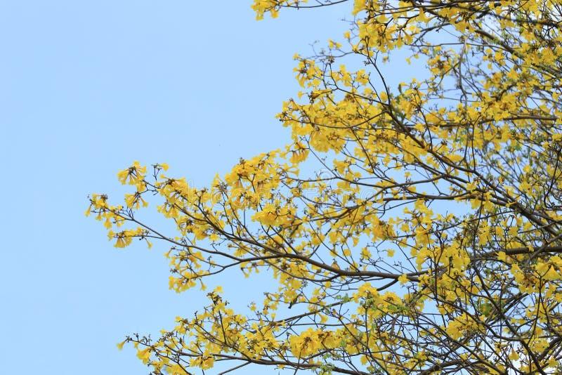 Flor amarela das flores da árvore de trombeta amarela ou do trumpe do paraguaio fotografia de stock royalty free