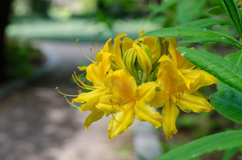 Flor amarela de Azalia Fim acima imagens de stock royalty free