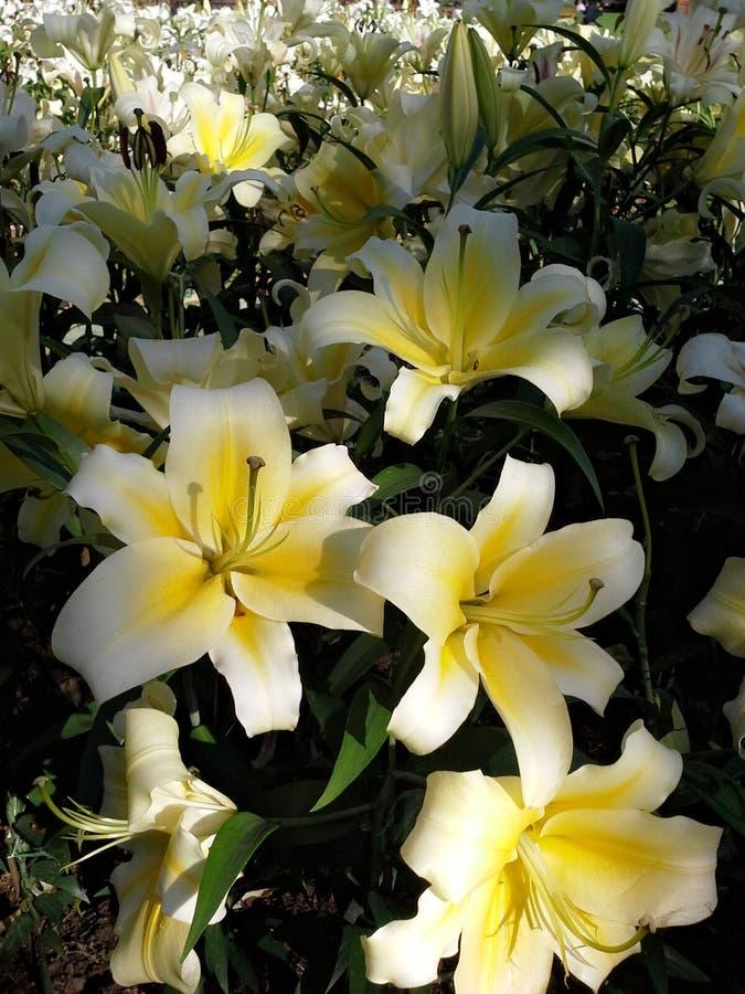 Flor amarela de Lilly fotos de stock