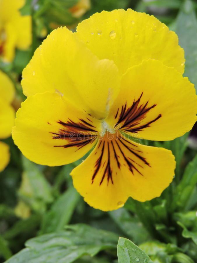 Flor amarela do amor perfeito fotos de stock royalty free