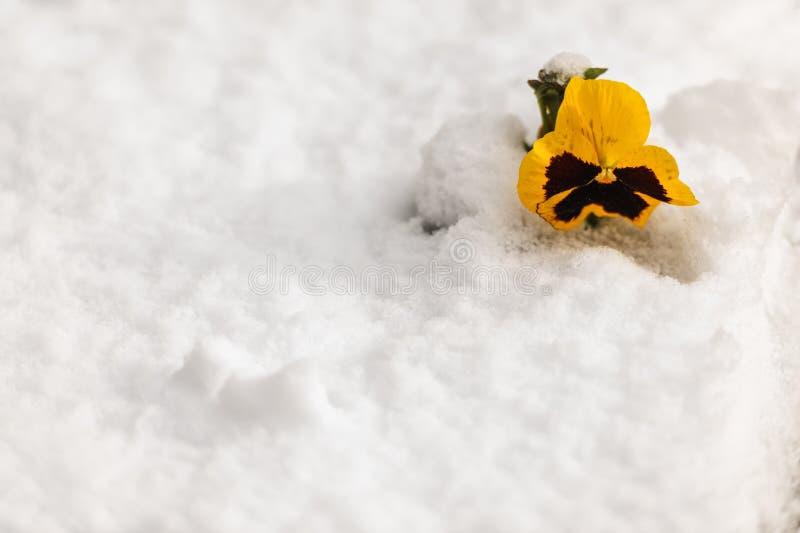 Flor amarela do amor perfeito no inverno fotografia de stock