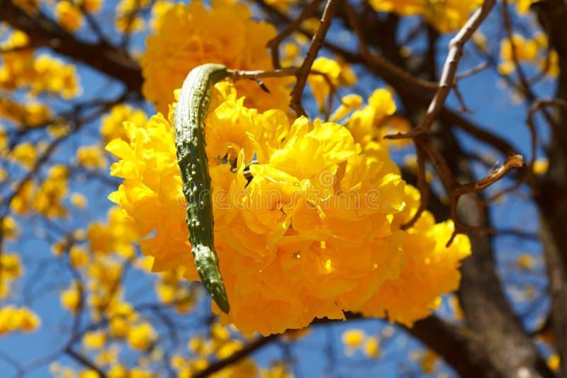 Flor amarela do aurea de Tabebuia da árvore fotografia de stock